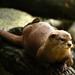 A brincalhona lontra