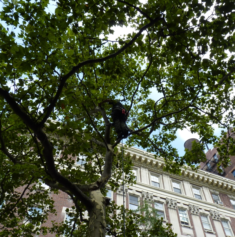 USDA Inspects London Planetree