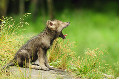 Baby Timber Wolf Yawning (affinity579) Tags: wild baby nature nikon wolf quebec timber wildlife yawn montebello naturesfinest coth supershot specanimal parkomega d700 coth5 mothernaturesgreenearth amazingwildlifephotography