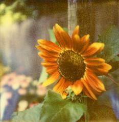 PX680ff Sunflower