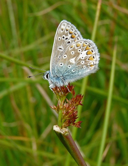 24570 - Common Blue, Isle of Mull