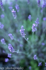 Lavender (sgv cats and dogs) Tags: bokeh lavender lavande shallowdof