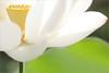 Lotus Flower petal / petals - IMG_2891 (Bahman Farzad) Tags: flower macro yoga petals peace lotus relaxing peaceful petal meditation therapy lotusflower lotuspetal lotuspetals lotusflowerpetals lotusflowerpetal