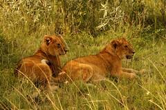 Lion's Whelps (Heimiko) Tags: lion whelps