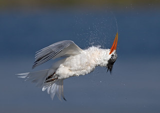 Tern Drying off (lateral view) [Explored best position #413]
