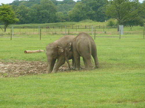Asian elephant calves at play