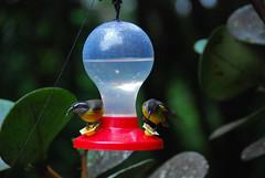 Hummingbirds (Brian Sloane) Tags: bird costarica hummingbird feeder monteverde cloudforest monteverdecloudforest