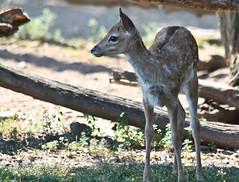 doe eyes (rakkasan69) Tags: park baby lake cute canon eyes sweet wildlife small doe tony deer pa halifax tobias babcock fallow xsi