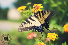 [Explored - July 18, 2011] Garden Butterfly (Marie Sturges ) Tags: camera plants flower green nature beautiful yellow 35mm butterfly garden insect wings nikon pretty mm nikkor dslr 35 d3000