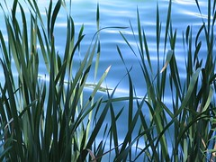 APalochak_Cattails