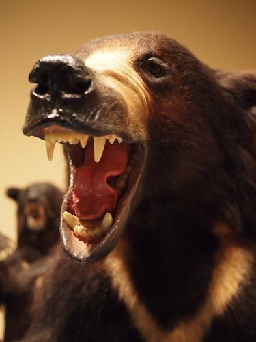 大哺乳類展 ツキノワグマの剥製