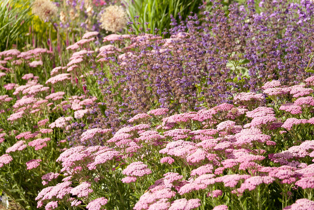 achillea and salvia 3