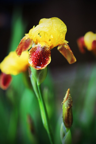 Lomo Iris by kayaker1204