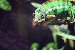 20/100 (AmyJanelle) Tags: green colors animals zoo rainbow eyes funny purple bokeh reptile humor chameleon funnyanimals aquariam