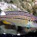 Melanochromis dialeptos Gome