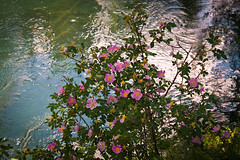 First lady of Alberta (JoLoLog) Tags: canada water rose creek alberta banff banffnationalpark lorien bushe albertarose canonxsi echocreek officialfloralemblemofalberta