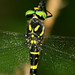 Tiger Spiketail - Photo (c) John Beatty, all rights reserved