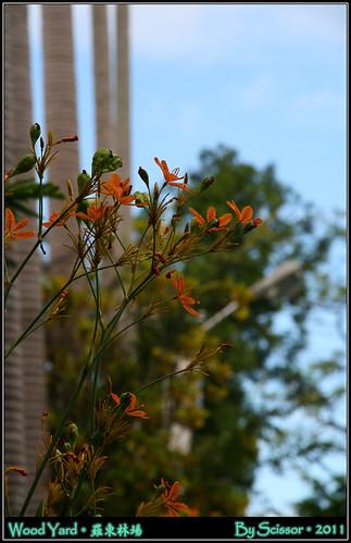 椰林下的黃花
