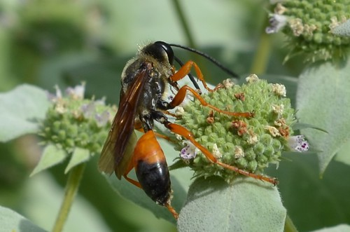 Sphex ichneumoneus, Great Golden Digger Wasp