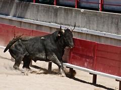 Courses, abrivados, encierros, roussatailles... site fotos 5967601437_a6393b6b48_m
