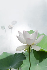 Lotus Flower - IMG_0494-2-800 (Bahman Farzad) Tags: flower macro yoga peace lotus relaxing peaceful meditation therapy lotusflower lotuspetal lotuspetals lotusflowerpetals lotusflowerpetal