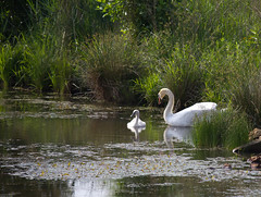 Strebel Pond-368.jpg (raggedyandy321) Tags: heron nature water grass birds reflections swan fishing pond fuzzy signet rare blackbird greatblueheron peacefull beachbird birdsfishing