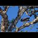 Peregrine Falcon - Rio Tarcoles - Costa Rica