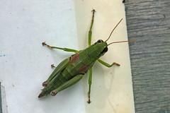 瀬上市民の森のフキバッタ(Grasshopper, Segami Community Woods)