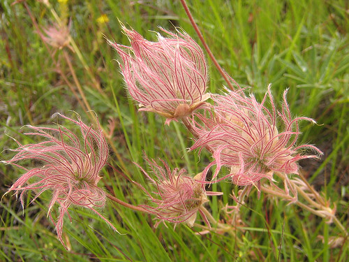 Geum triflorum seedpods