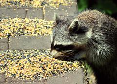 Backyard Bandit (Hi-Fi Fotos) Tags: cute nature animal feast backyard nikon birdseed pittsburgh critter raccoon scavenger d5000