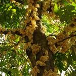 Dysoxylum sp.; Bali, Ubud - auf dem Hügel (163) Kauliflorie, Stammblüte