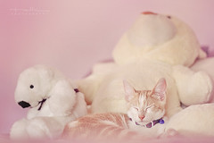 Peluches (Explored) (Malia Len ) Tags: bear pink light animal cat canon natural rosa malia gatito peluche peluches domesticated osito cascabel ositos malialeon