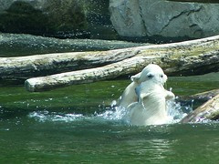 """Bite me, and I'm biting you back!"" ('Ebe) Tags: bear polarbear rhenen bearcub savethepolarbear ouwehandszoo sikuorsesi"