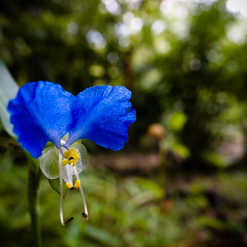 Blue Eyes, Mukojima Hyakkaen Garden