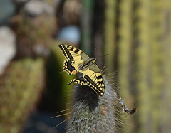Papillon Machaon (MagicVince) Tags: nikon village eze frenchriviera 18105mmf3556gvr d5100