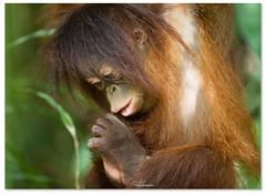 Tenten (Reedy Photography) Tags: cute beautiful animal malaysia borneo orangutan sponsor canon5dmii reedyphotography canon70200f28isii