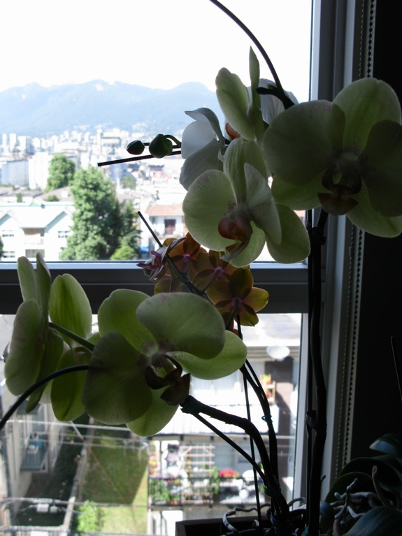 blooming phalaenopsis orchids 003