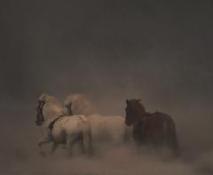 3 On a hot and dusty day. (Sverrir Thorolfsson) Tags: horses scenic ash sland icelandichorses supershot differentvision naturepoetry uppblstur magicunicornverybest magicunicornmasterpiece grureying sverrirrlfsson sverrirthor sandkluftarvatn sverrirthorolfsson