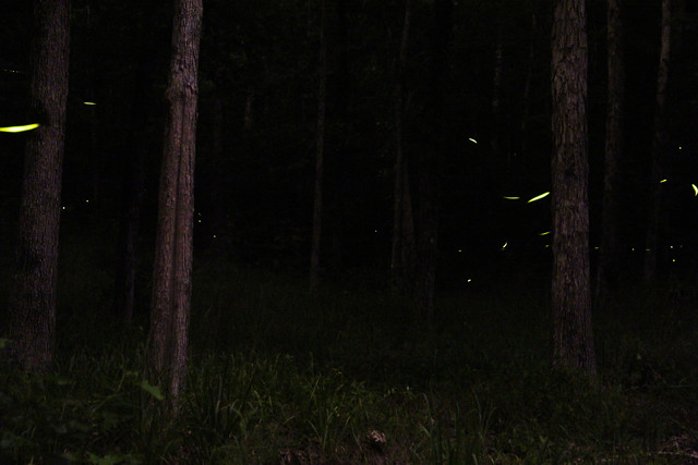 photographing fireflies at night