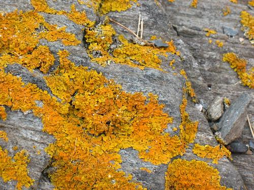 Xanthoria lichens
