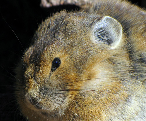 Up Close and Personal with a Pika