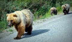 sow and springers (Rebecca Tifft) Tags: bear alaska bears cubs grizzly denali grizzlybear denalinationalpark grizzlycubs grizzlybearcubs