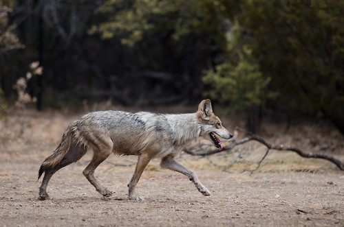 Mexican Gray Wolf by Dustin_Etheredge