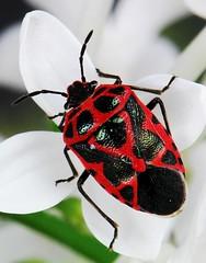 Scarlet Shield Bug (Eurydema sp.) (John Horstman (itchydogimages, SINOBUG)) Tags: china white macro true bug insect shield onwhite hemiptera pentatomidae itchydogimages