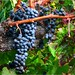 2895_6_7_8_Grapes Hanging v2