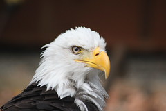Pacific Northwest Raptor: Bald Eagle
