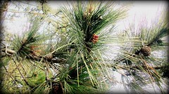 Pine Needles (TeganRae) Tags: tree green nature pine outside natural needles picnik