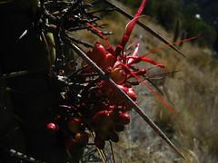 Cactus, con compañia (halasdelalma) Tags: cactus chinita parasito pochoco quintral