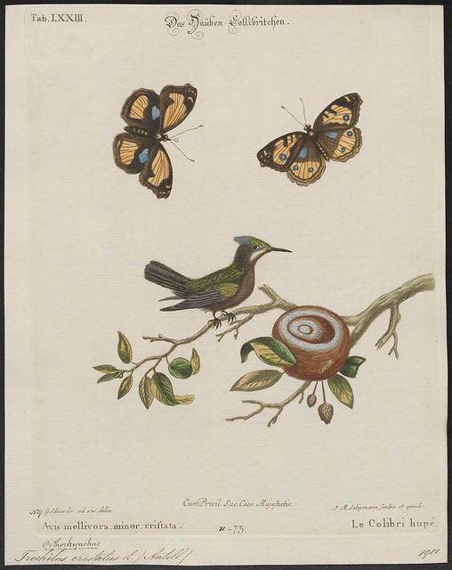 Trochilus cristatus L.