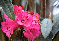The Beauty  &  The Bug (Monsoon Lover) Tags: life india flower nature fun flickr rhododendron darjeeling funnystory singalila sudipguharay lapchajagat sigalilareserveforest tamling nothingseriousaboutit